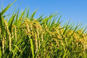 fighting weedy rice