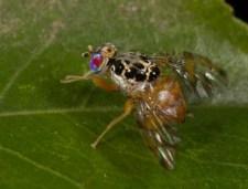 mediterranean-fruit-fly-3 invasive