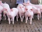 pork producers