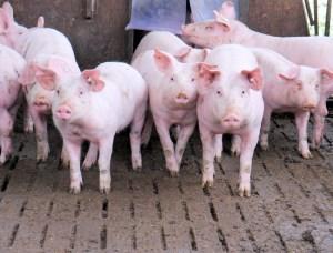 pork imports