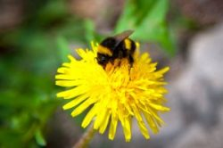 rusty-patched-bumblebee-gathering-nectar-from-a-yellow-flower