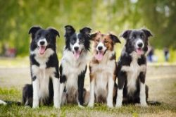 border collies sitting on the grass-fruits