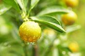 california-agriculture-orange-on-tree