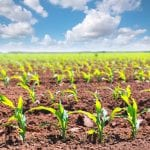 2017 Corn fields sprouts in rows in California agriculture