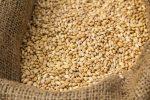 feed wheat corn-crop-in-sack-ready-for-animal-feed