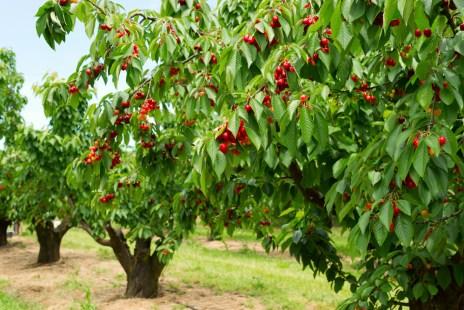 cherry splitting