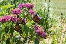 monarch-butterflies-in-backyard-garden