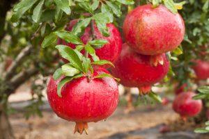 black-hearted pomegranates