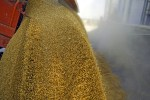 wheat-grains-5 import forecast