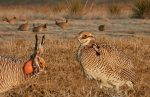 lesser_prairie_chicken_from_the_crossley_id_guide_eastern_birds fish