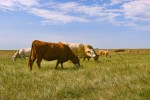 cattle-grazing-on-saskatchewan canada field