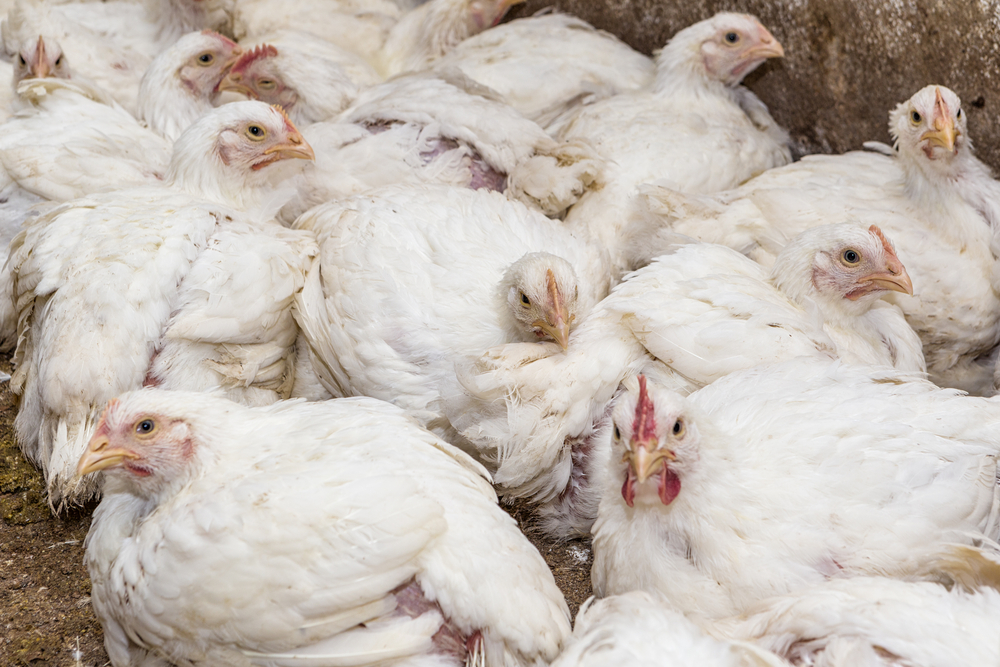 Bird flu suspected at Alabama poultry farms