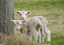 two cute and adorable shy lambs on the farm