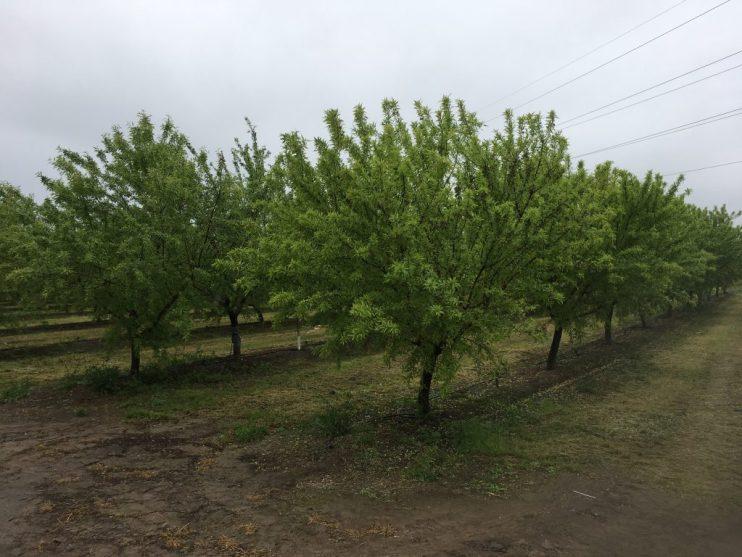 yellow almond trees