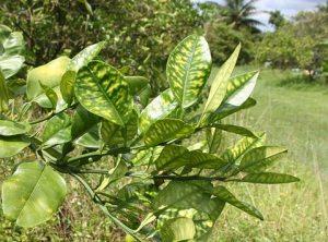 citrus disease