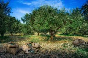 national olive