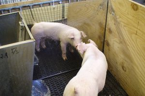 pig pens mirror mat