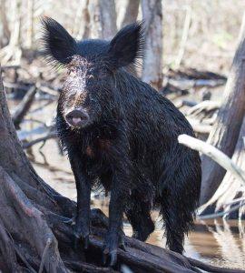 Wild Pig Problem