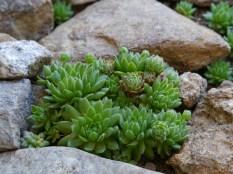 Houseleeks growing in stone garden