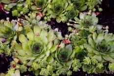 Houseleeks plants