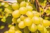 Yellow jacket wasps eating grapes