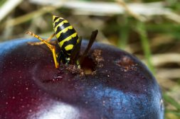 yellow jacket - vespula squamosa - yellow jacket's butt sticking out of a hole in an overripe plum