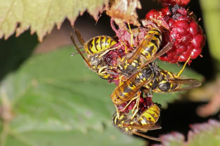 Group of yellow jacket wasps eating raspberry fruit during summer