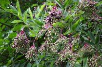 Bunches of elderberries (Sambucus Nigra) hanging from a bush
