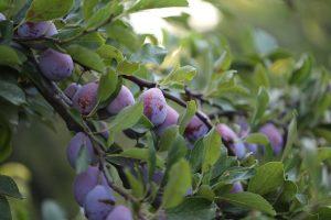 california prune