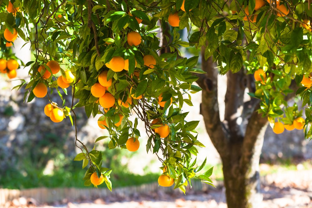 California Citrus Network Now Available as Grower Resource
