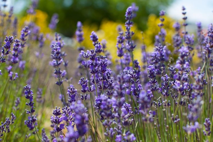 Plant Grow And Harvest Lavender Agnet West