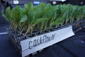 Seed company donates cauliflower