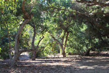 california avocado