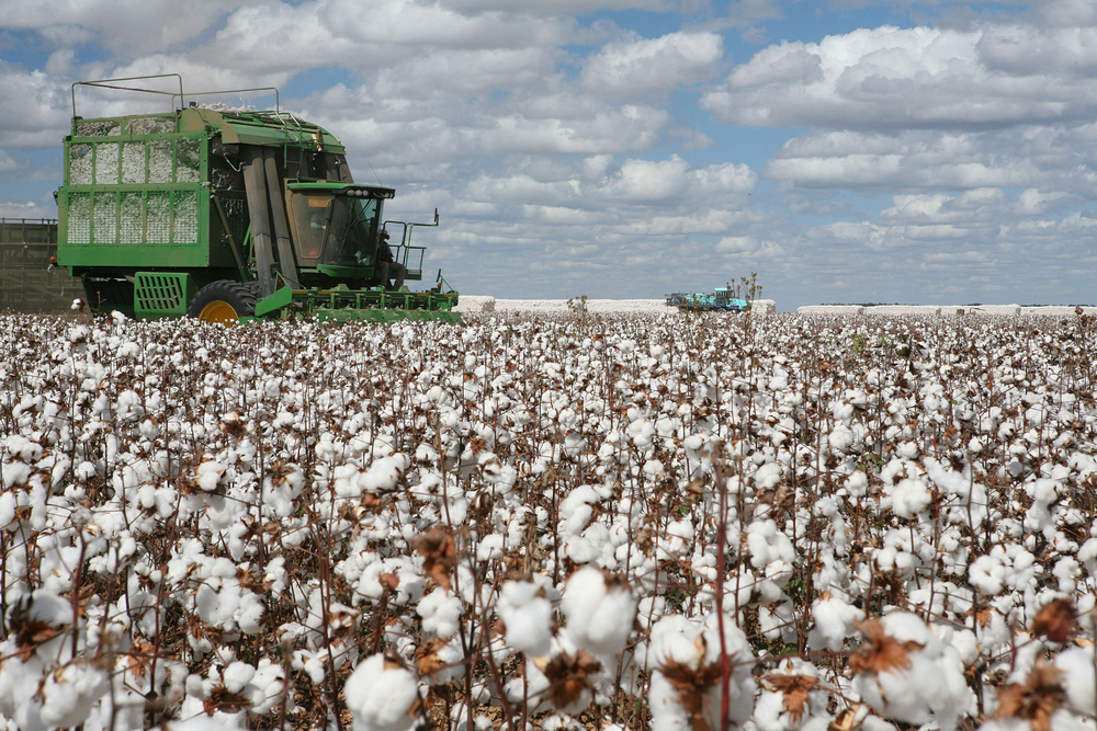 Planted Cotton Acreage Expected to Increase