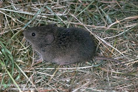 Grower Input Needed for Vole Management Tool