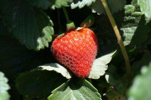 Strawberry Crops Rebound