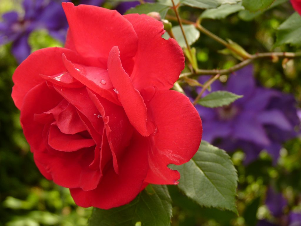 Celebrating National Red Rose Day