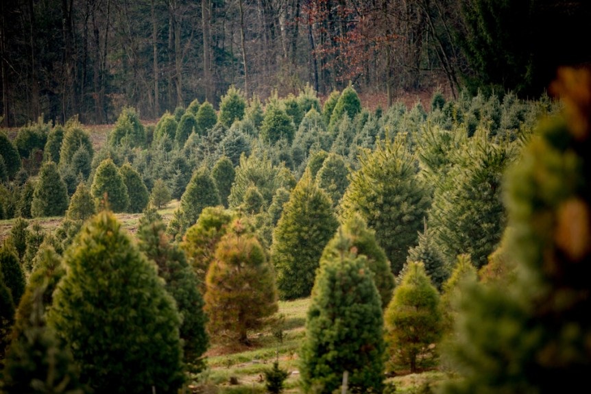 christmas tree crop