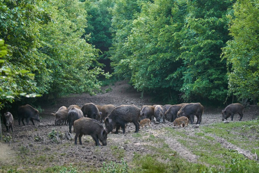 wild hog