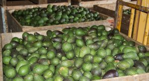 Colombian avocado production
