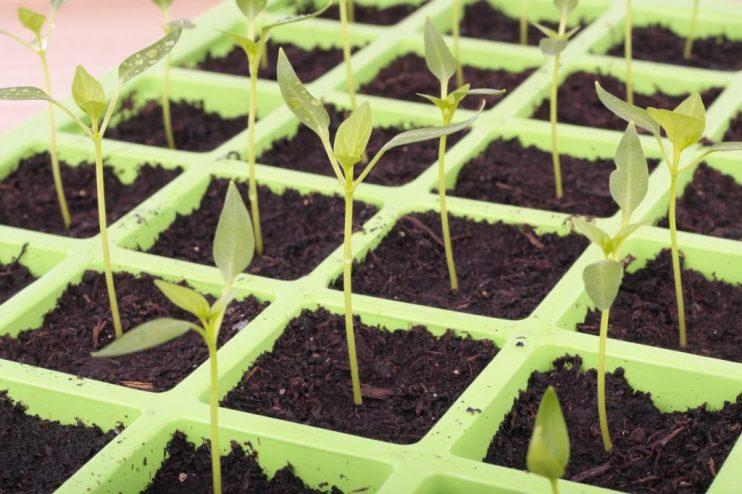 organic seed