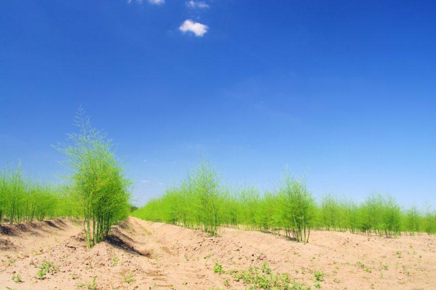 california asparagus