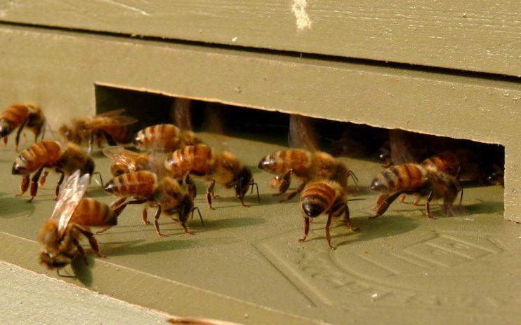 Honeybee Parasite