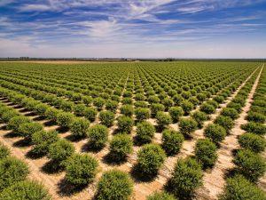 almond acres