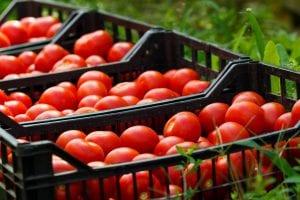 Tomato Suspension Agreement