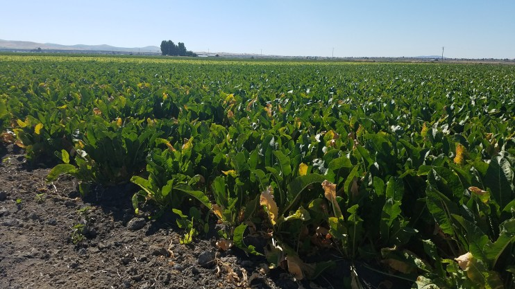 Horseradish crop