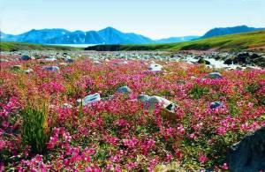 Тундра цветет