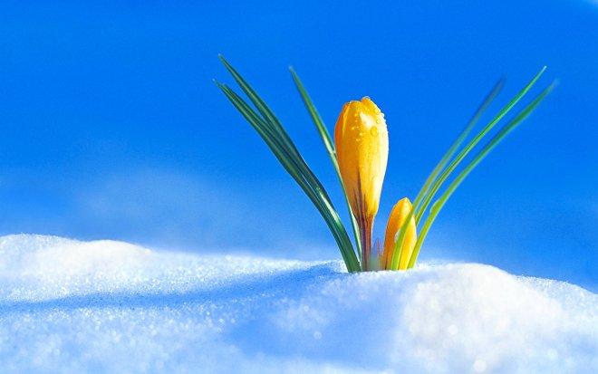 2017Nature___Seasons___Spring_Spring_yellow_crocus_makes_its_way_through_the_snow