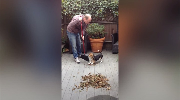 When Beagle Puppies Help to Clean