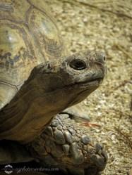 Auckland Zoo - Tortoise
